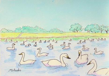 迫川の白鳥