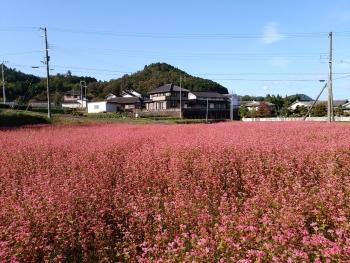20161018紅そば畑