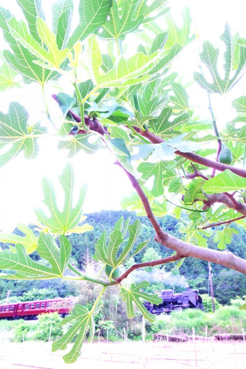 160605figtree.jpg