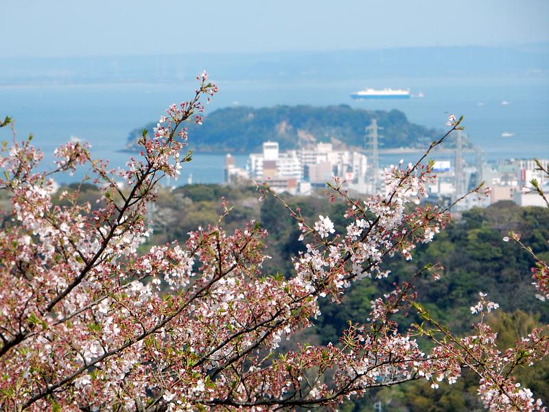 塚山公園の桜2