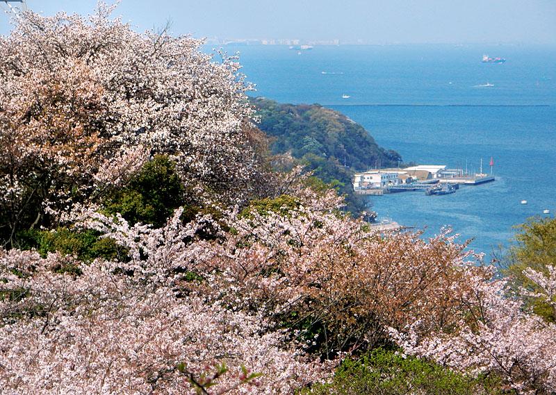 塚山公園の桜1