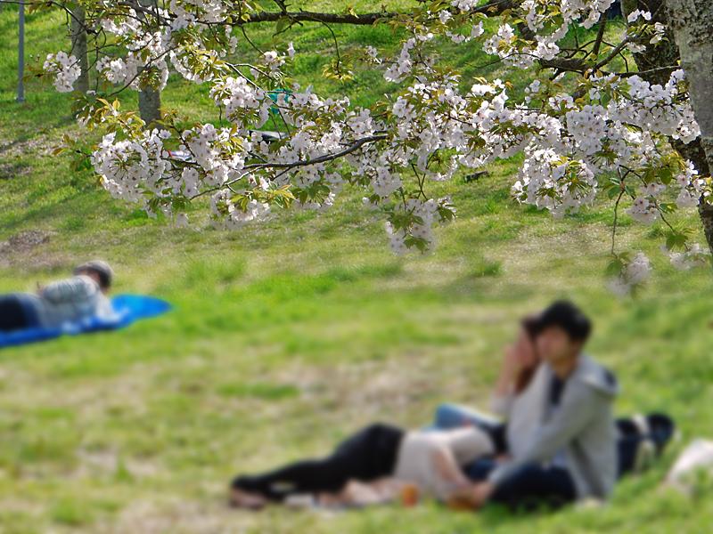 塚山公園の桜4