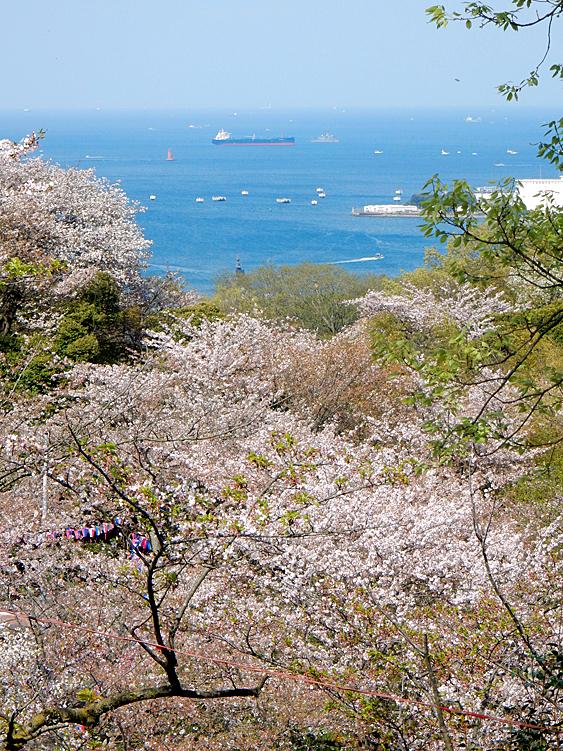 塚山公園の桜6