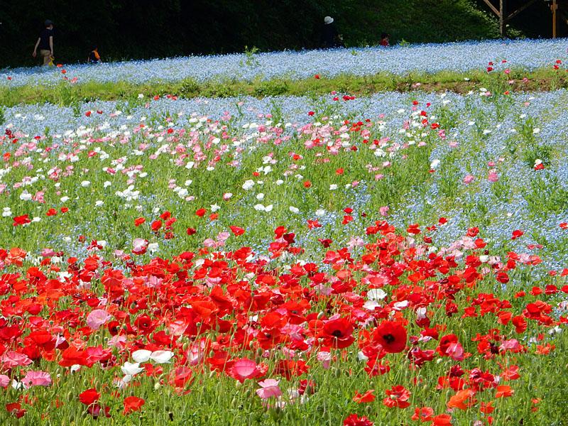 160501花の国3