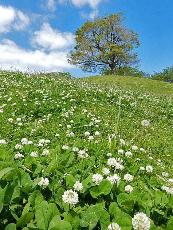 160426白詰草と榎の丘1