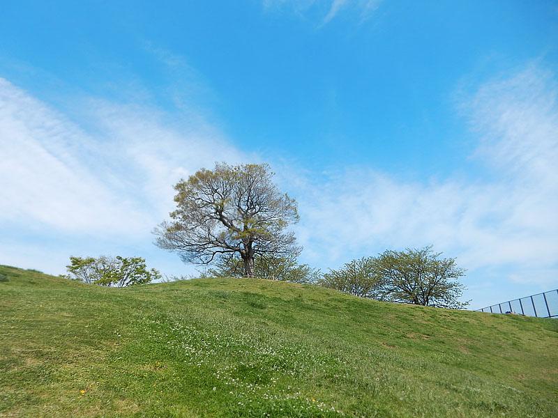 160426白詰草と榎の丘2