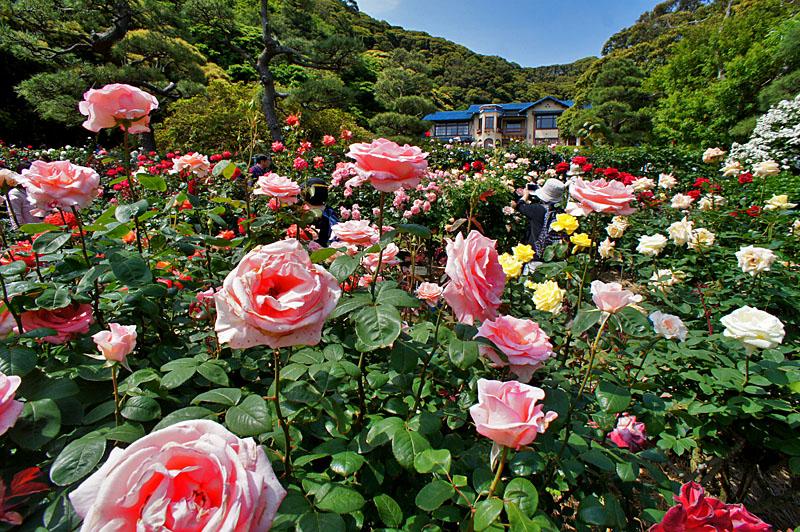 160514鎌倉文学館のバラ3