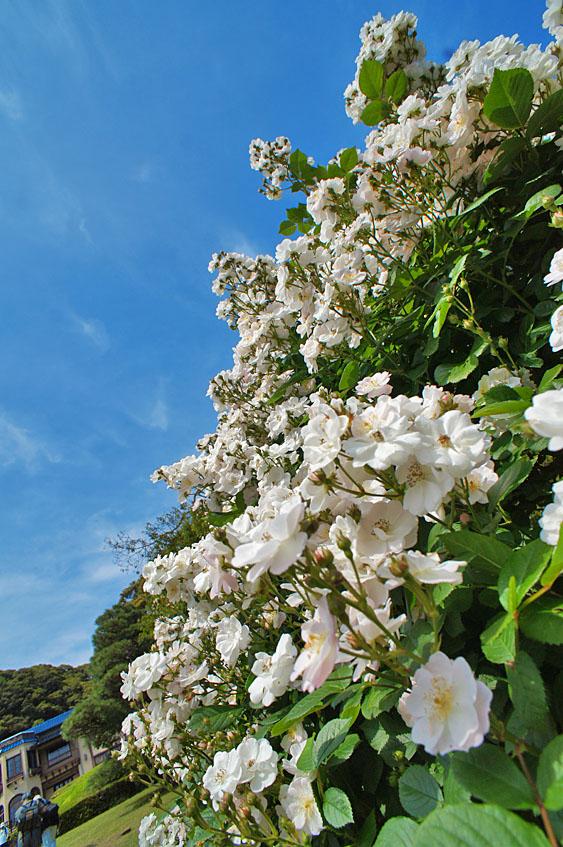 160514鎌倉文学館のバラ7