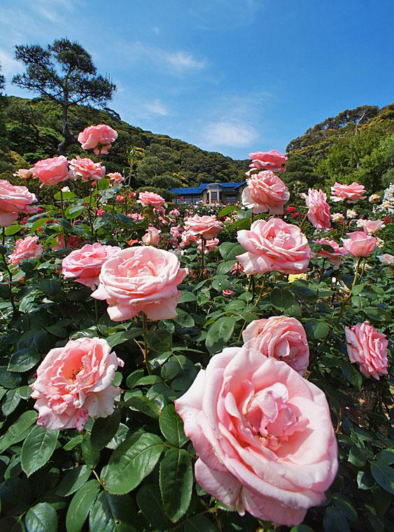 160514鎌倉文学館のバラ8