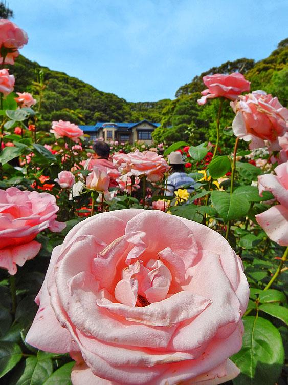 160514鎌倉文学館のバラ9