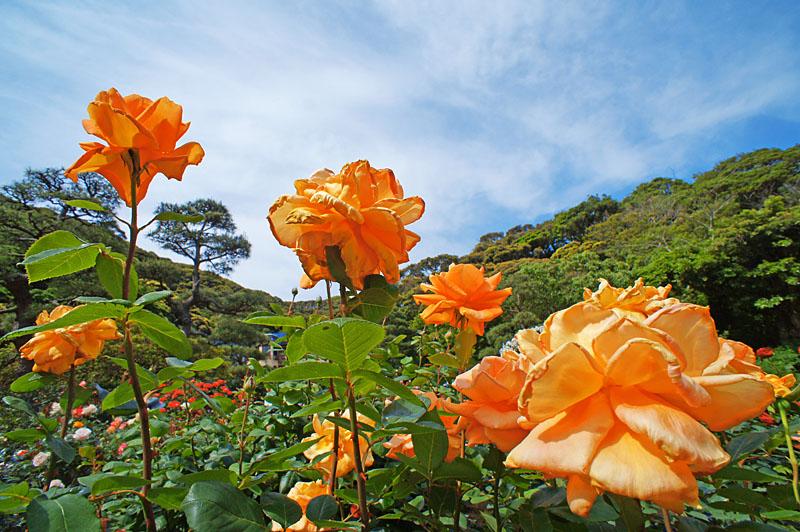 160514鎌倉文学館のバラ10