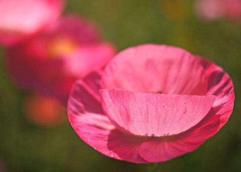 160529朝の花の国ポピー5