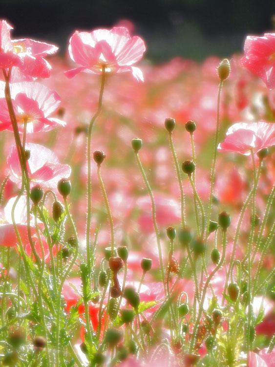 160529朝の花の国ポピー3