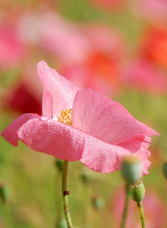 160529朝の花の国ポピー1