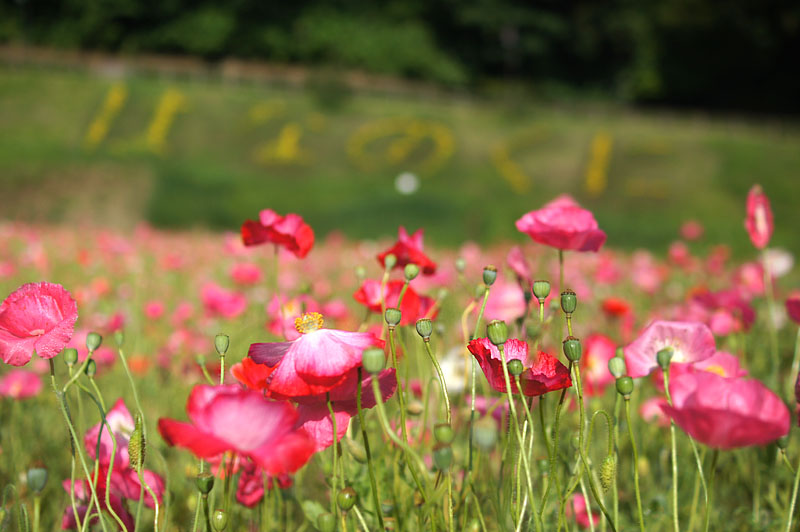 160529朝の花の国ポピー7