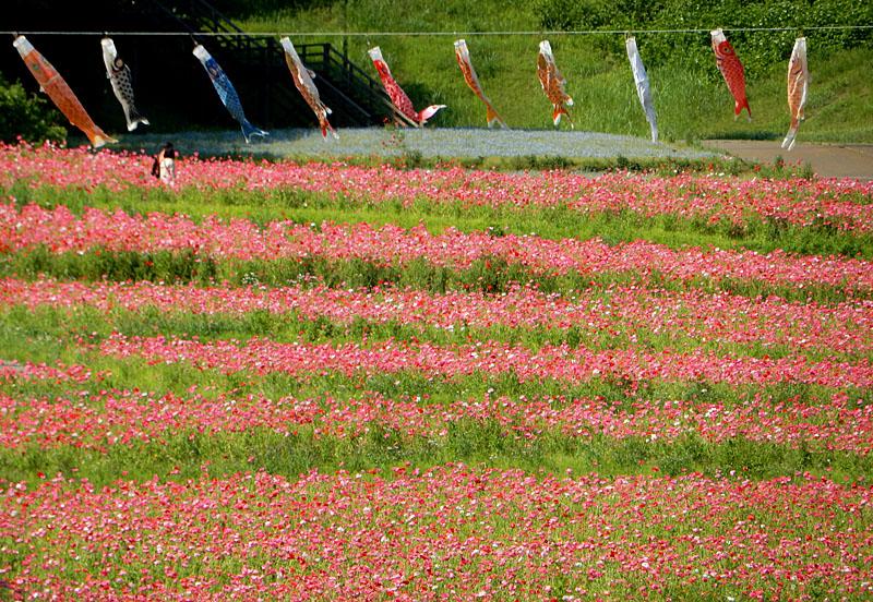 160529朝の花の国ポピー8