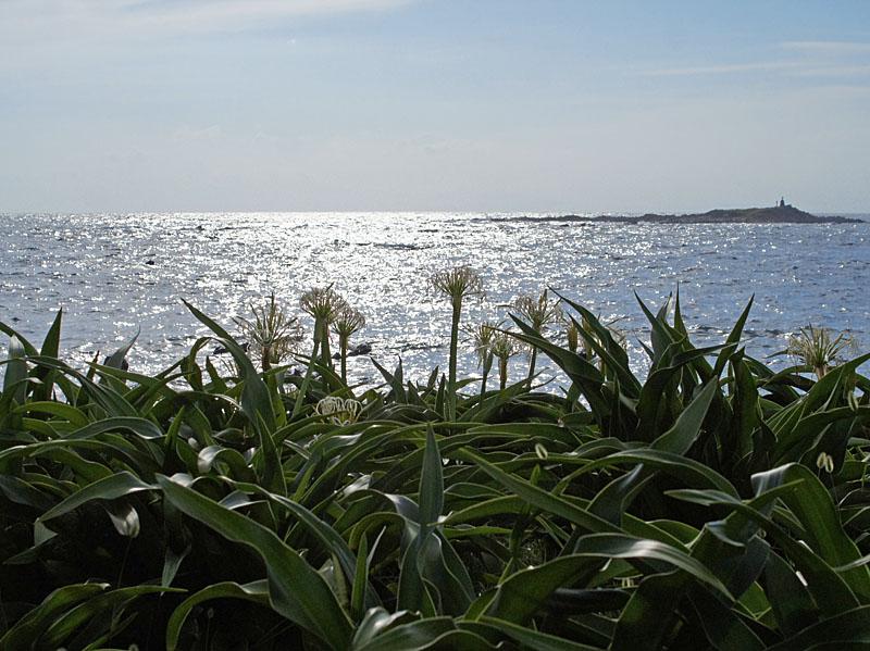 160703天神島のハマユウ8