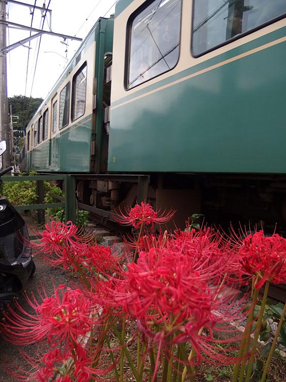 160918江ノ電と彼岸花2