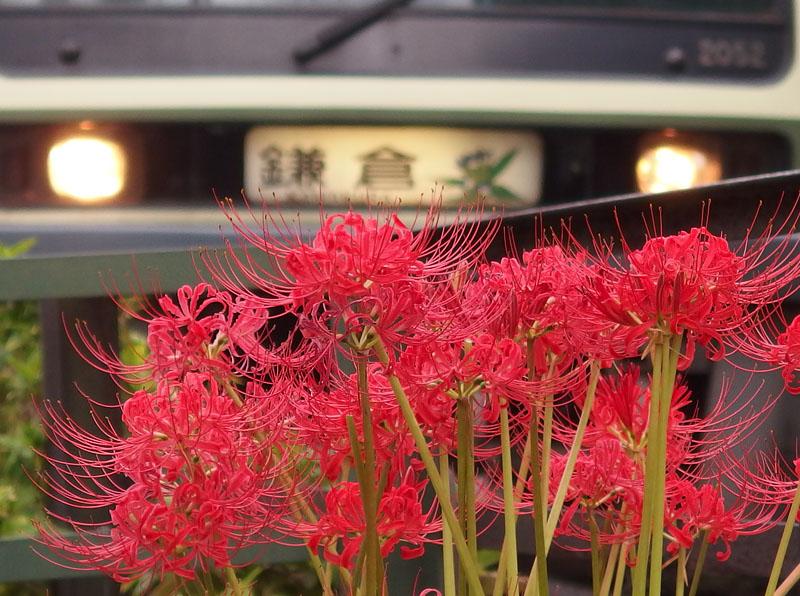 160918江ノ電と彼岸花4