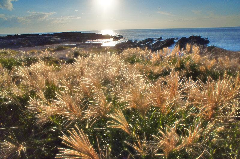 161016城ヶ島のススキと落陽1
