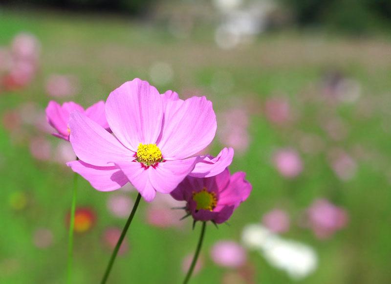 161023花の国のコスモス1