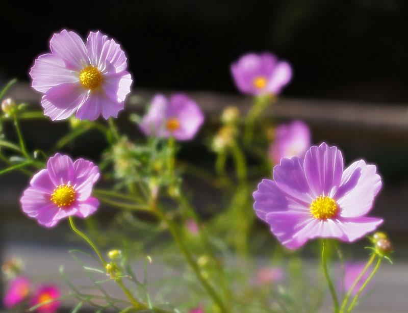 161023花の国のコスモス2