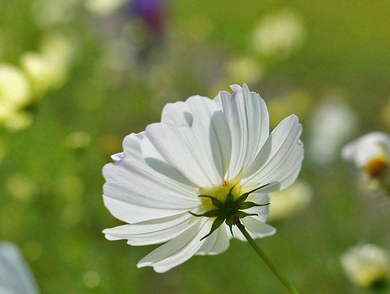 161023花の国のコスモス3