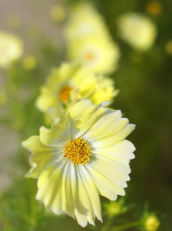 161023花の国のコスモス4