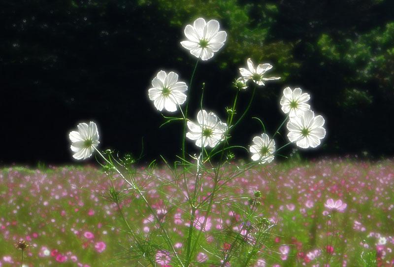 161023花の国のコスモス5
