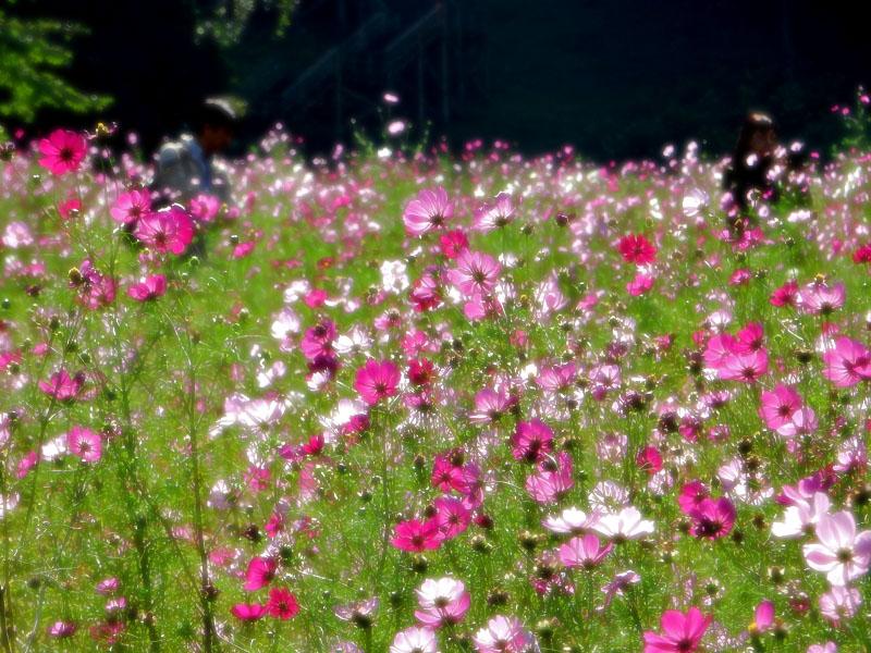 161023花の国のコスモス6
