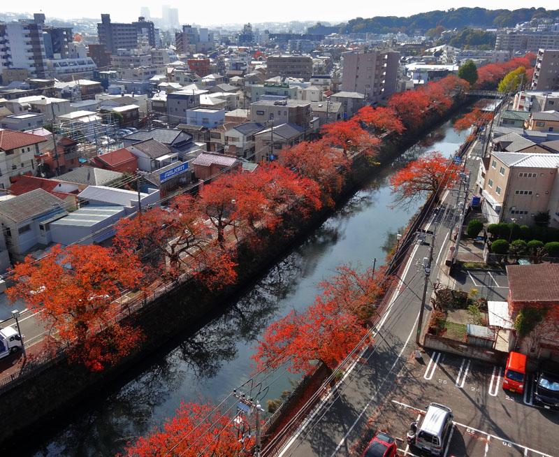 161118大岡川桜もみじ1