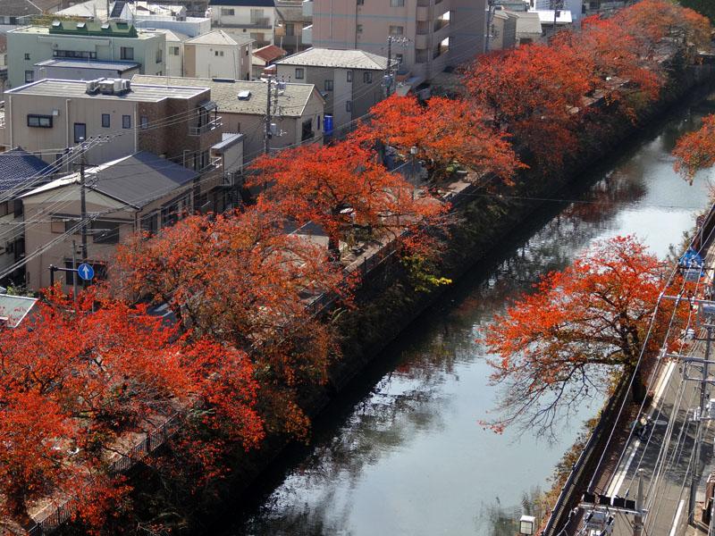 161118大岡川桜もみじ2