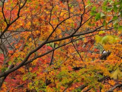 方丈庭園前の紅葉b_1