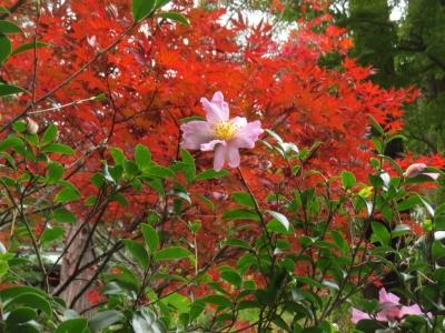 壽徳庵入口の山茶花と紅葉b_1