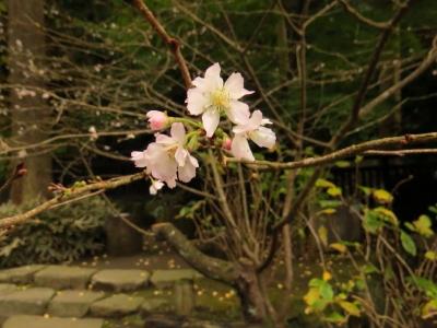 十月桜a_1