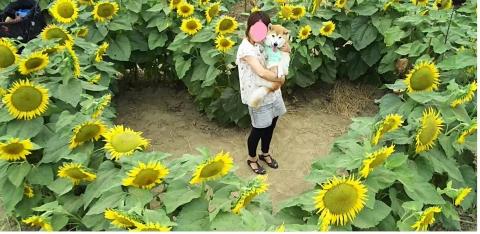 ママとハートのひまわり畑で
