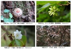 クチベニタケ,カンレンボク果実,二季咲きサクラ