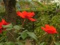 2016秋の薔薇1