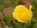 2016秋の薔薇2