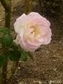 2016秋の薔薇3