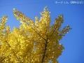紅葉(黄色)