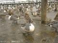 2016鴨と白鳥2