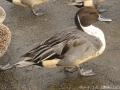 2016鴨と白鳥3