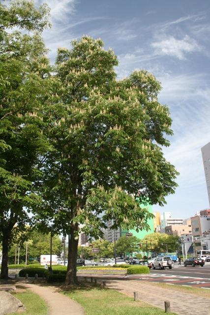 IMG_4098 栃の木(427x640)