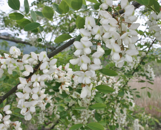 IMG_4013 アカシアの花(640x518)