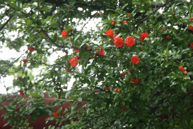 IMG_4421 ザクロの花(640x428)
