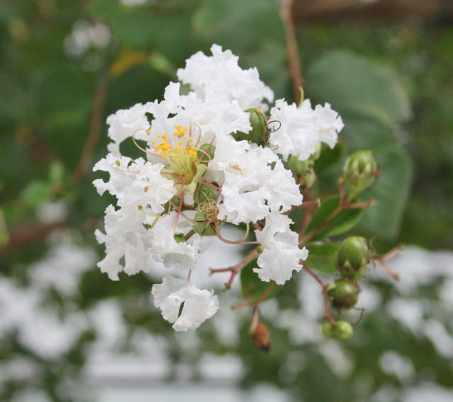 IMG_5730 白百日紅の花(640x568)