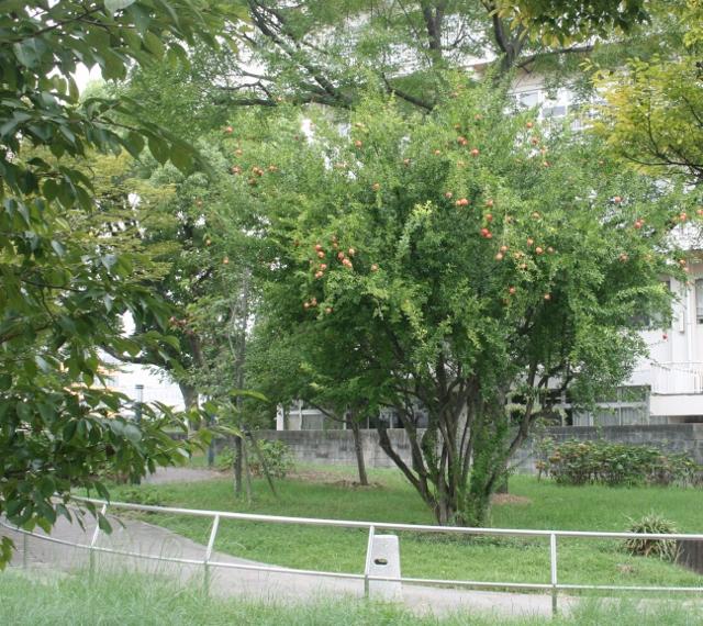 IMG_5911 公園のザクロ(640x570)