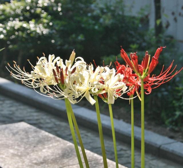 IMG_5963 白い彼岸花(640x587)