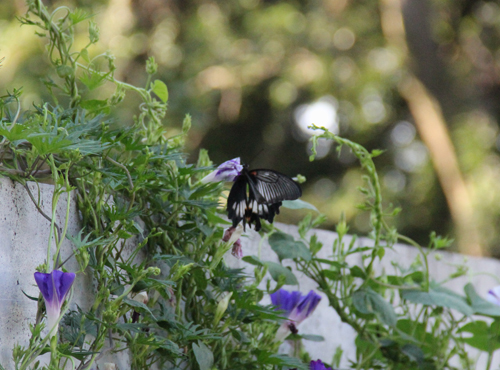 朝顔に蝶1